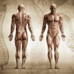 Musculoskeletal Studies